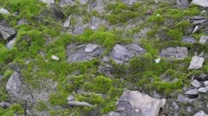 Grønnmose