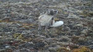 Litt stell av pelsen torde den å utføre på kloss hold.