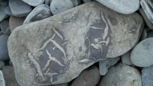 Her ser en tydelig hvordan sjøgress er blitt til fossiler. Funnet på stranda rett nord for båtstøa.