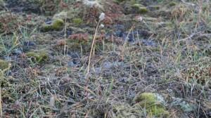 Polarreverumpe i frø