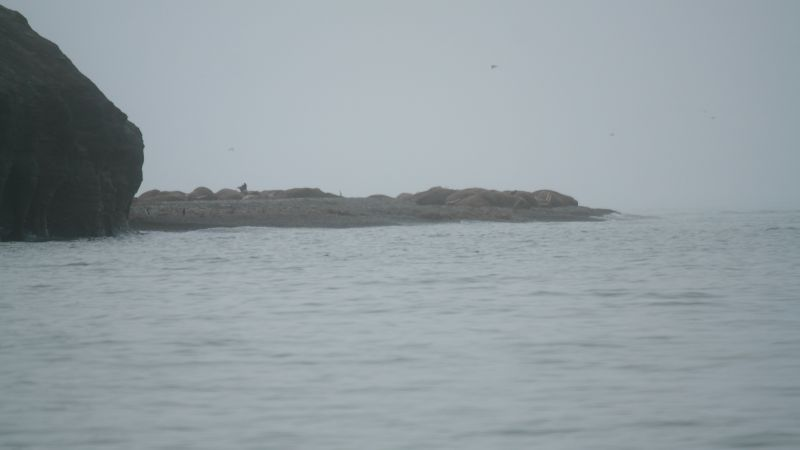 Hvilested for hvalross