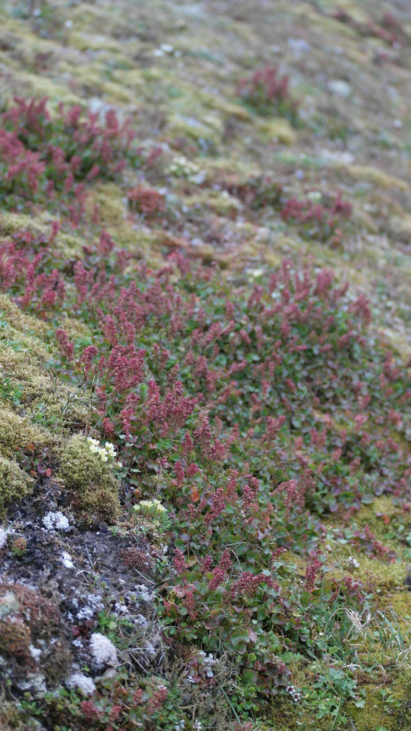 Polarsyregras er en av flere arter som trives på Bjørnstranda.