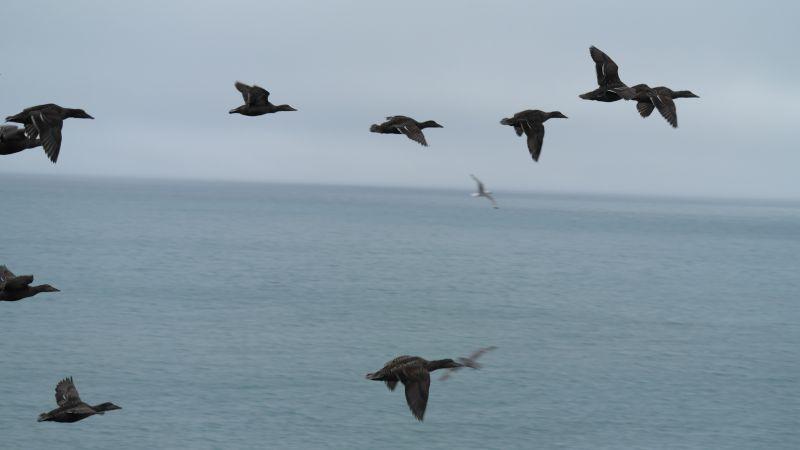 En flokk med ærfugl flyr forbi.