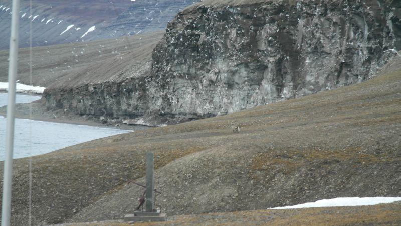 Polarrev på tokt ved fuglefjellet. Se mer på video i Youtube.