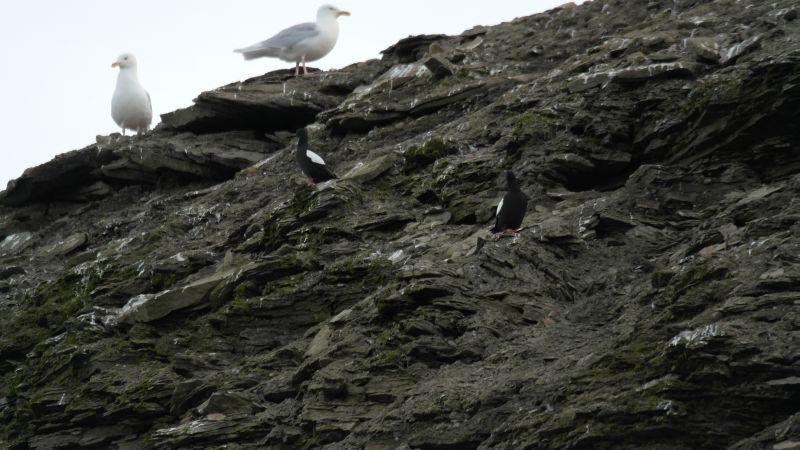Både polarmåke og teist er å finne i og ved fuglefjellet.