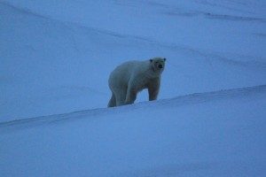 Isbjørn ved stasjonen