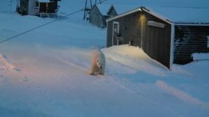 Plutselig stod den en stor hannbjørn mellom verkstedet og kaldlageret. Staselig rugg. Foto: Bjørn Ove Finseth