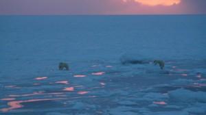 Isbjørnbinne og unge på isen. Foto: Bjørn Ove Finseth