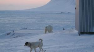 Tyson og isbjørn vokter på hverandre. Foto: Bjørn Ove Finseth