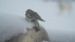 Årets første snøspurv den 13. mars 2015. Foto: Bjørn Ove Finseth