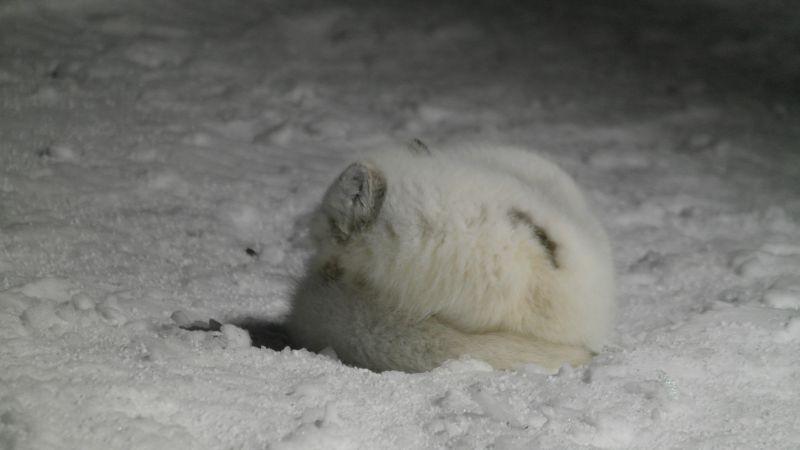 Polarrev la seg til å sove rett utenfor kjøkkeninngangen på stasjonen januar 2015
