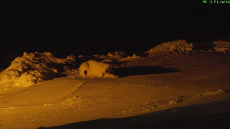 Isbjørnbinne med tvillinger hviler på helipad.