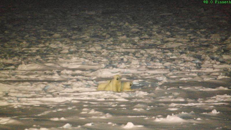 Isbjørnbinne med tvillinger i vintermørket på isen utenfor stasjonen.