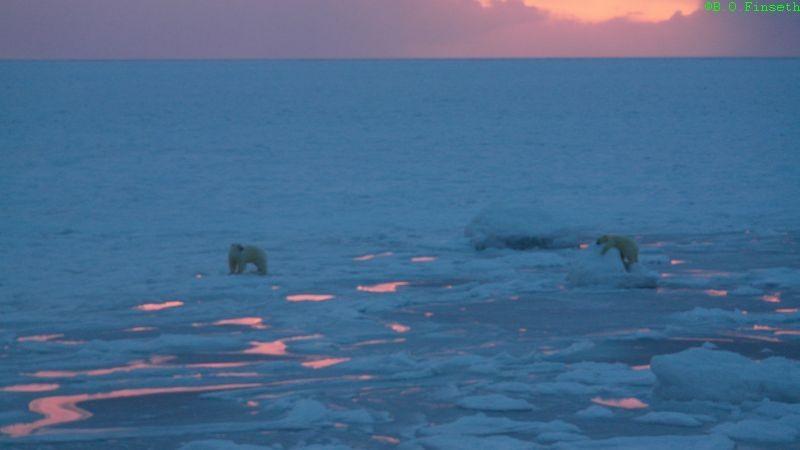 Isbjørnbinne med unge utpå usikker is de første dagene sola var kommet tilbake