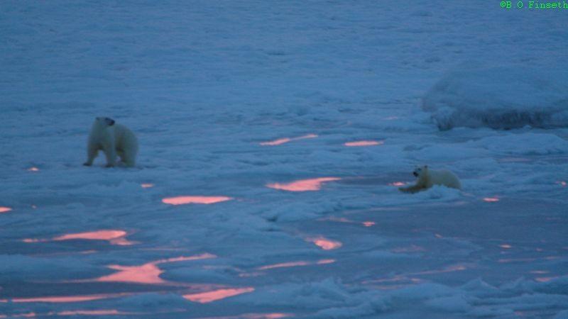 Isbjørnungen har gått gjennom isen mens mor prøver å lokke på han.