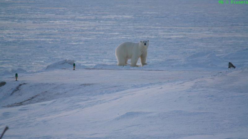 Isbjørnen er nysgjerrig men tørr ikke komme nærmere.
