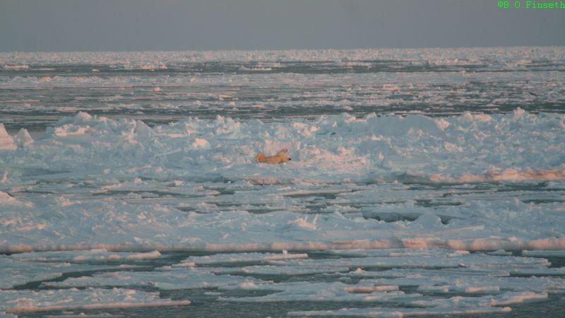 Isbjørnen ruller seg i isen/snøen for å få av saltvannet etter en svømmetur.