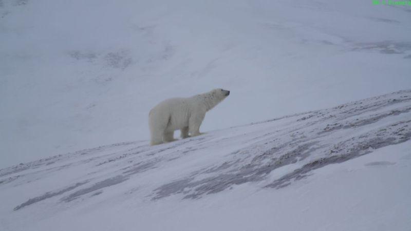 Isbjørnen skuer opp mot Bjørnsletta og lurer på om det er noe spennende der oppe.