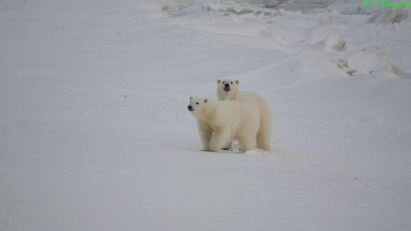 Ei isbjørnbinne og unge var veldig nysgjerrig borte på båtstranda.