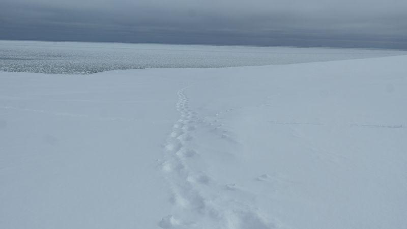 Isbjørnspor i søre Husbekken.