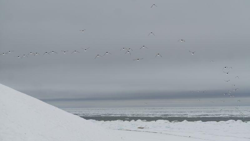 Polarlomvi på vei hjem
