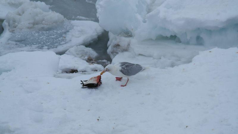Polarmåkas festmåltid