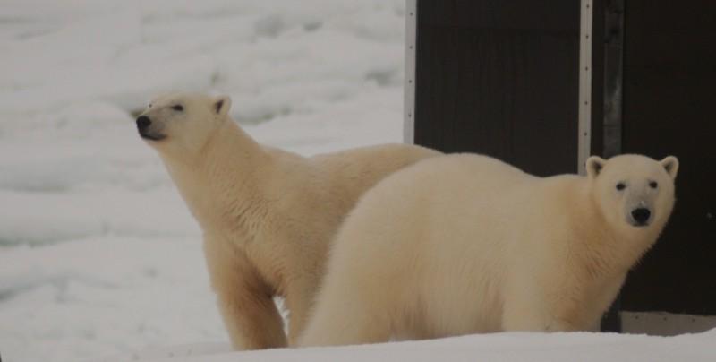 Årets første bjørner på stasjonen er nysgjerrige på hva dette kan være
