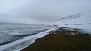 Tyson inspiserer hva som titter langs stranda på vestsida når snøen forsvinner.