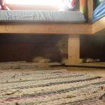 Krækling likte best å ligge under senga, eller under hytta på Sørhytta.